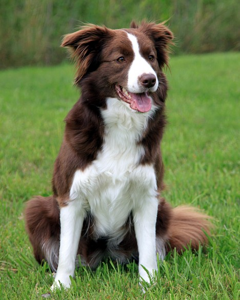 Border Collie border-collie-09 – MİNİK DOSTUM