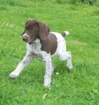 german-shorthaired-pointer-01