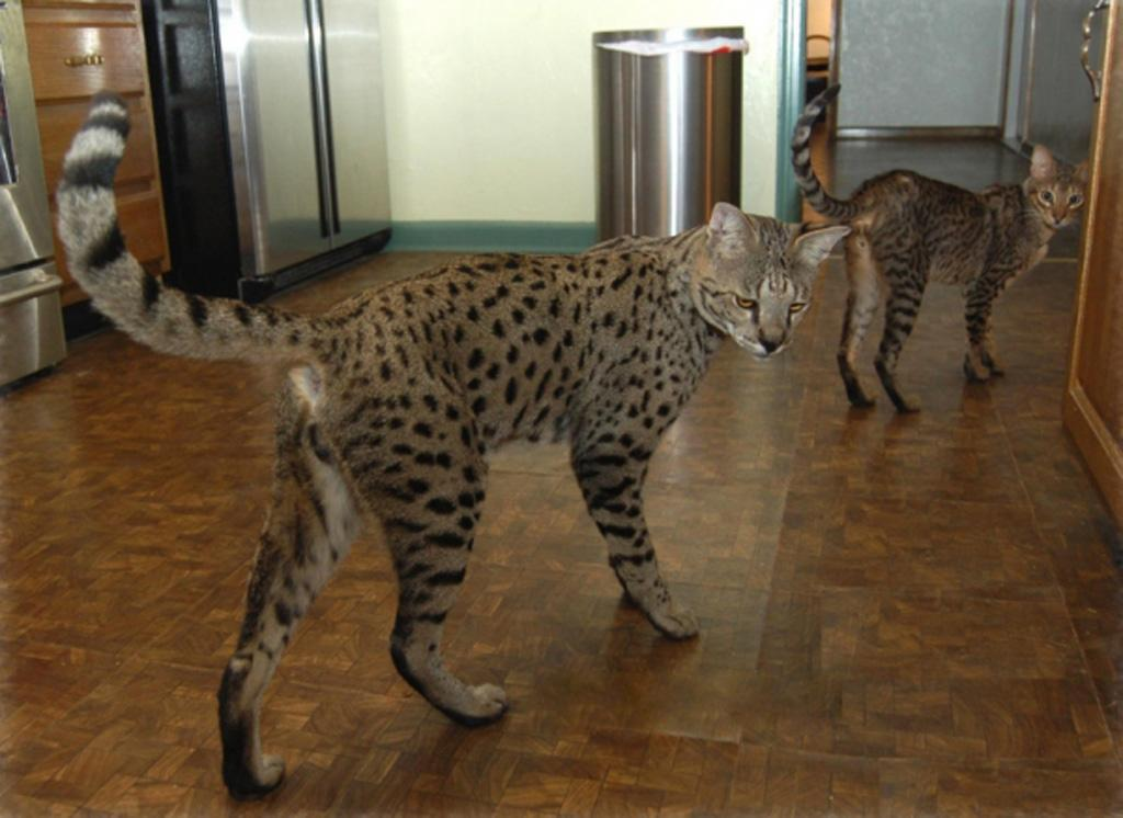 Serval House Cat Cat Hybrid Cat Controversy Cost And
