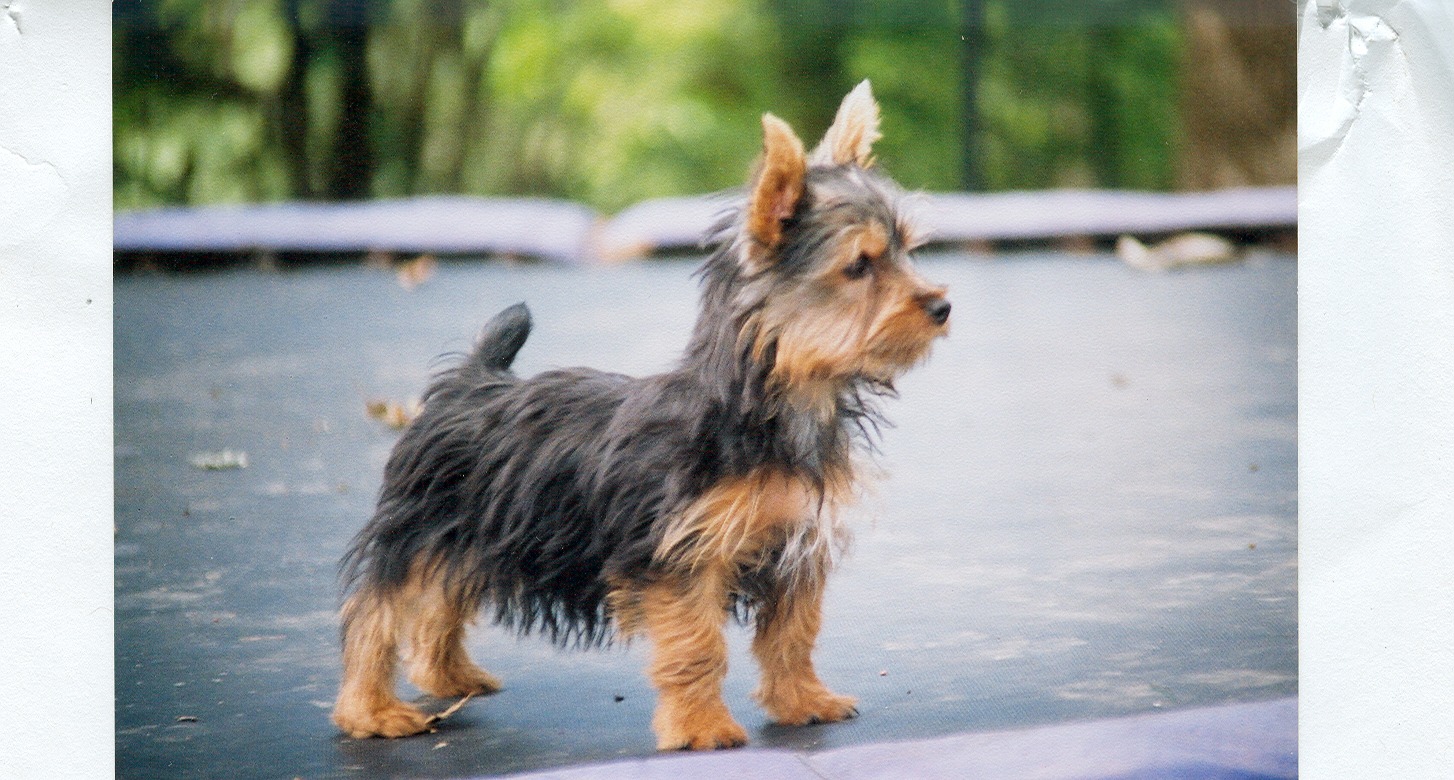 "Search Results for ""Haircuts For Silky Terriers Pictures"