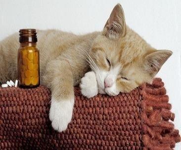 kedi-losemi-hastaligi