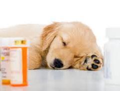 Köpeklerdeki Kalp Yetmezliğinde Diyetin Önemi