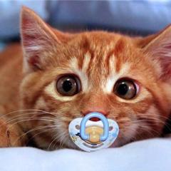 Kedilerde Doğum Süreci