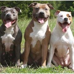American PittBull Terrier