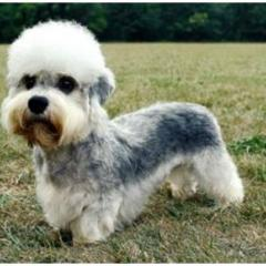Dandie Dinmont Terrier