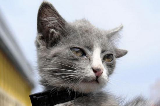 dort-kulakli-kedi (1)