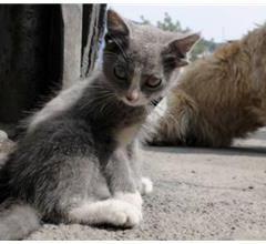 Dört Kulaklı Kedi Görenleri Şaşırttı!