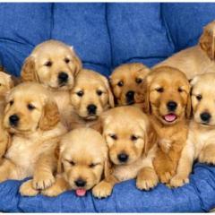 En Zeki Köpek Cinsleri Top 10