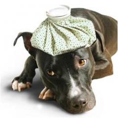 Köpeklerde Soğan Zehirlenmesi