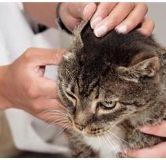 Kedilerde Kulak ve Göz Temizliği