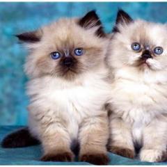 Kedilerin Tüyleri Neden Renk Değiştirir?