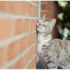 Kedilerde İdrar Püskürtme / İşaretleme