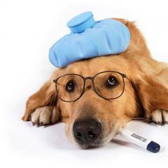 Köpeklerde Bulaşıcı Karaciğer Enfeksiyonu