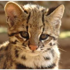 Mojave Spotted (Mojave Desert Cat)