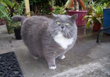 obezite-kedi-02