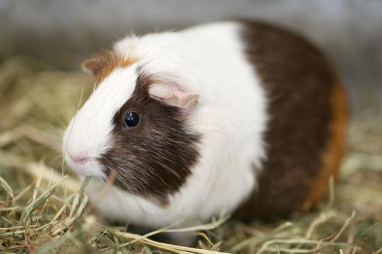 cavia-beslenme-01