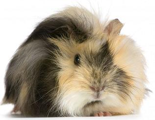 cavia-beslenme-02