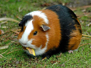 cavia-beslenme