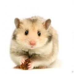 Hamsterler Hakkında