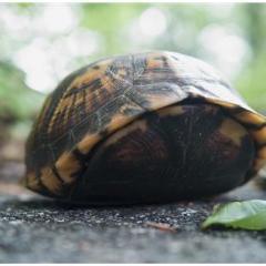 Kaplumbağalarda Kış Uykusu