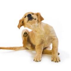 Köpeklerde Kaşıntıların Sebepleri
