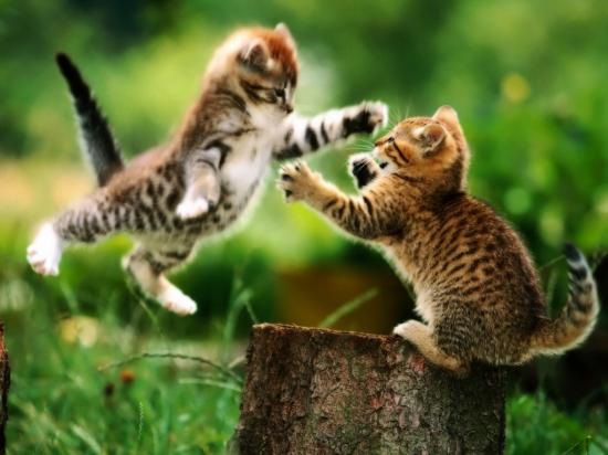 kedi-kavgasi