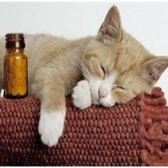 Kedi Lösemi Hastalığı