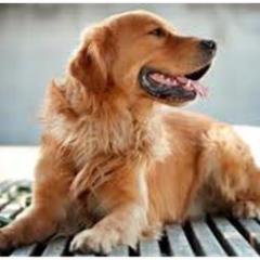 Köpeklerde Kısırlaştırmanın Fayda ve Zararları