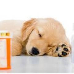 Köpeklerde Kanlı İshal Hastalığı