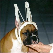 kopeklerde-kulak-operasyonu