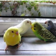 Muhabbet Kuşu Konuşturma Yöntemleri