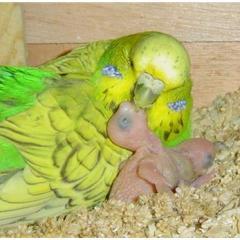 Kuşlarda Üreme