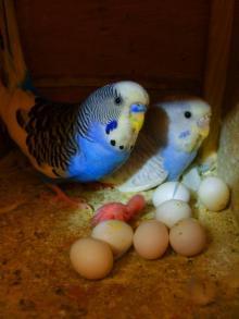 kuslarda-yumurtlama