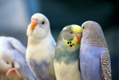 Muhabbet Kuşu Konuşturma Yöntemleri Minik Dostum