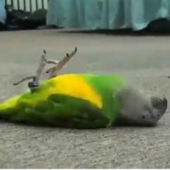 Ölü Taklidi Yapan Minik Papağan