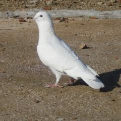 Adana Güvercini