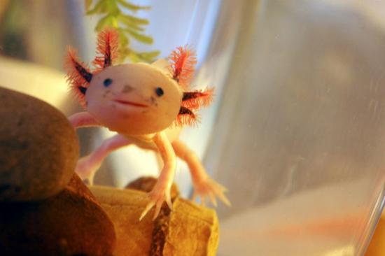 axolotl-02