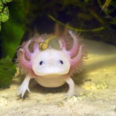 Axolotl Nedir?