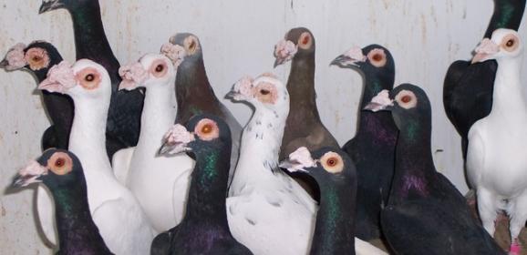 Bağdat Güvercini