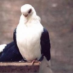 Bango Güvercini