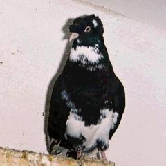 Bayburt Güvercini
