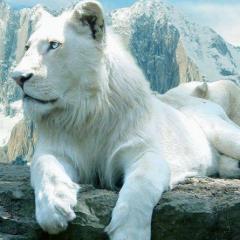 Beyaz Aslanlar