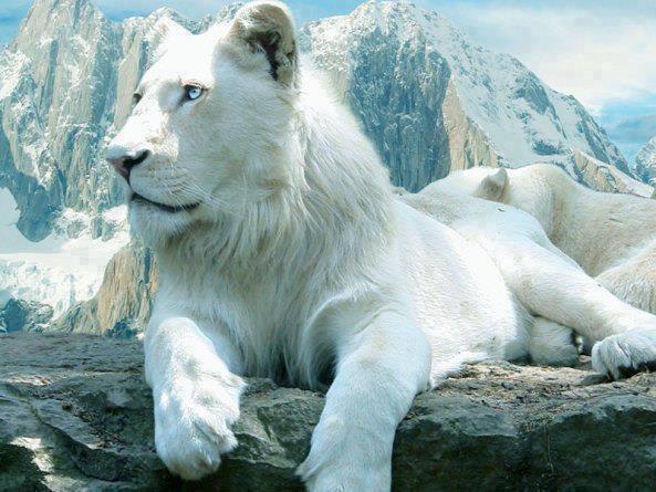 beyaz-aslan