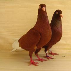 Bursa Güvercini