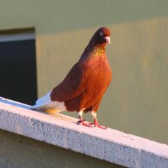 Çakal Güvercinler