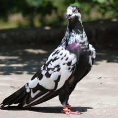 Dolapçı Güvercin