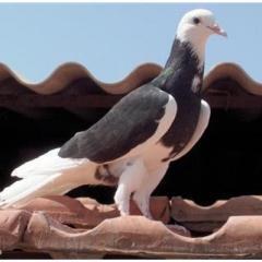 Dönek Güvercin