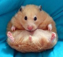 hamsterlar-hakkinda-03