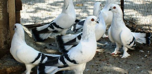 İstanbullu Güvercin