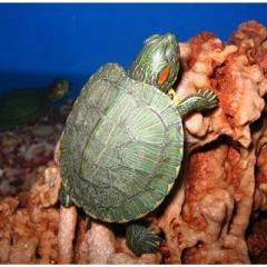 Kaplumbağa Hastalıkları